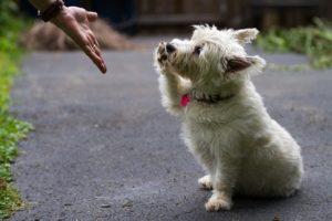 West Highland Terrier întinde lăbuța către stăpân