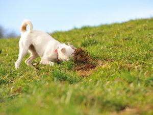 Acest câine mănâncă pământ pe un câmp înverzit