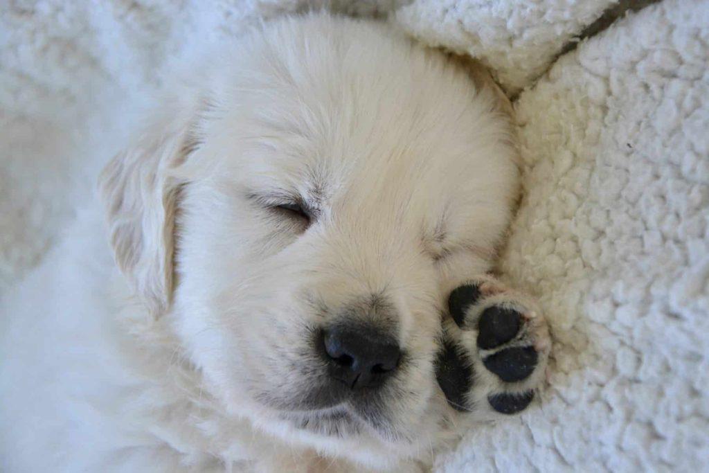 Acest cățeluș adorabil este gata de somn