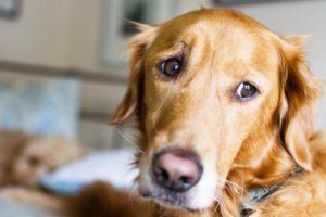 Câine privește anxios către camera de filmat