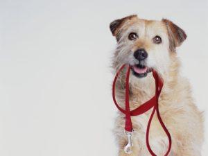 Câine își ține lesa cu colții așteptând o plimbare