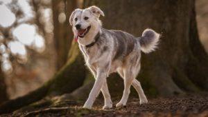 Acest câine este un mix Golden Retriever - Husky (Goberian):