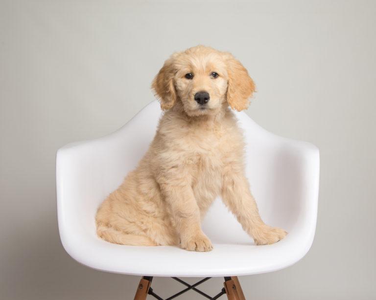 Acest câine adorabil este un Golden Retriever în miniatură, denumit și Confort Retriever