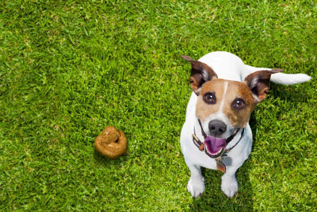 Jack Russell Terrier are prostul obicei de a mânca fecale