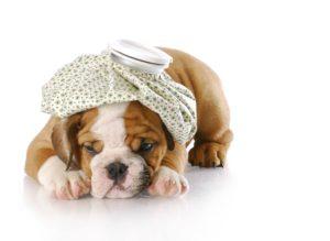 Pui de Bulldog englez bolnav