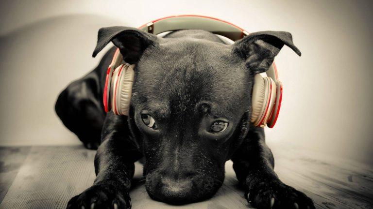 Pui de Pitbull poartă pe cap o pereche de căști audio