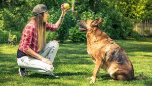 Stăpână își învață Ciobănescul german trucuri cu mingea