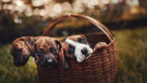 Trei pui de câine stau cuminți într-un coșuleț