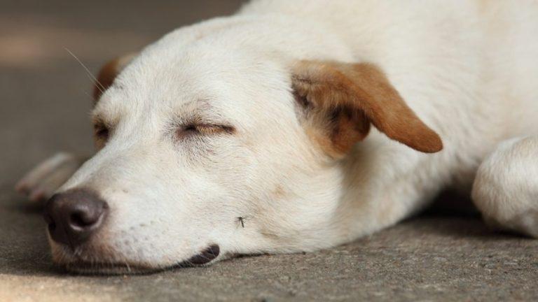 Acest câine urmează să fie mușcat de un țânțar