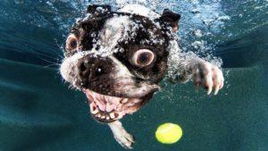 Bulldog Francez caută pe sub apă o minge de tenis
