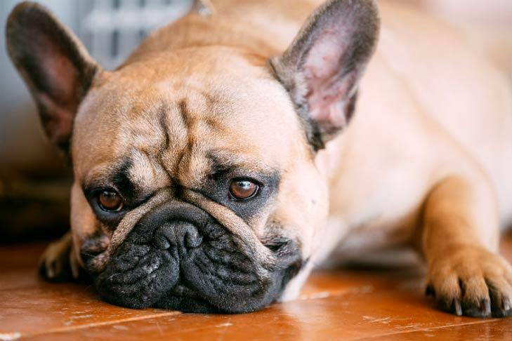 Câine afectat de dermatofitoză