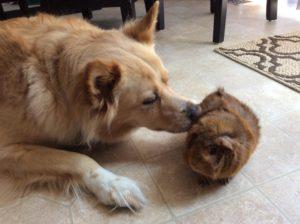 Câine împarte aceeași casă cu un porcușor de Guinea