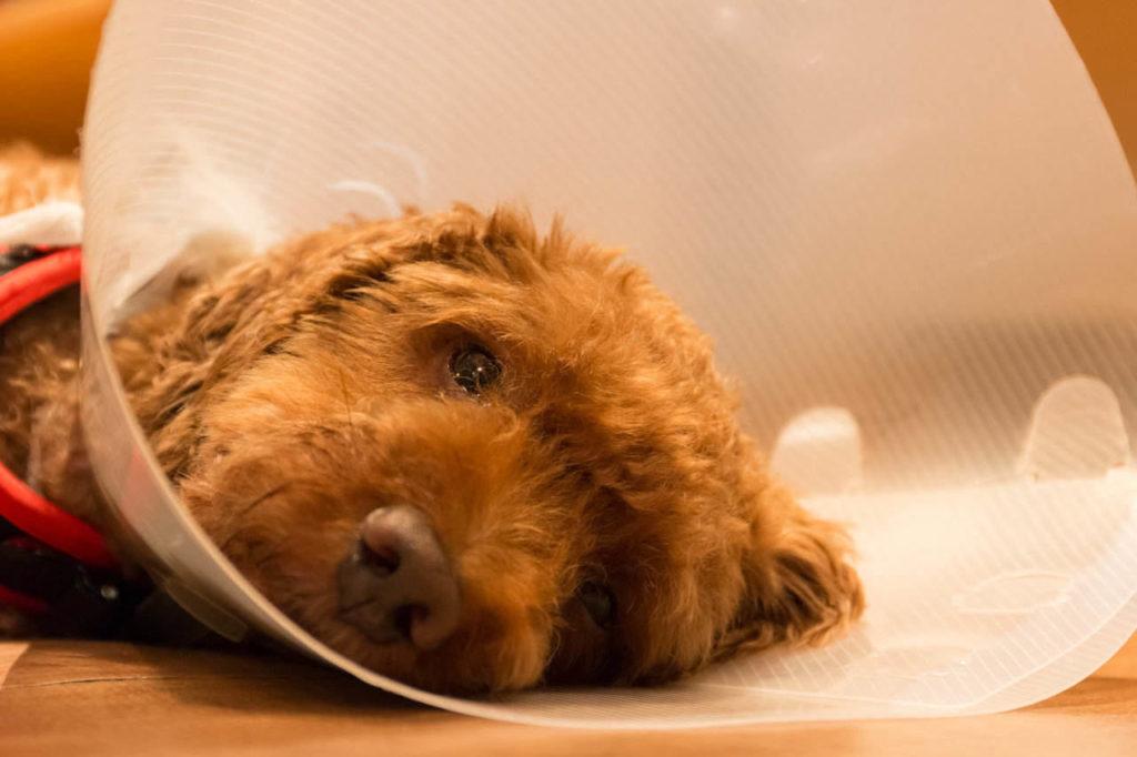 Acest câine este letergic în urma intervenției chirurgicale de sterilizare
