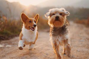 Doi câini de talie mică aleargă fericiți