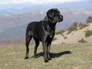 Exemplar adult de Cane Corso într-o zonă de deal