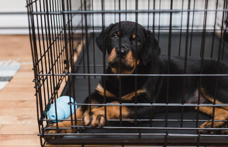 pui de Rottweiler stă trist în cușca sa