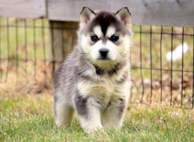 Pui metis al raselor Pomeranian și Husky