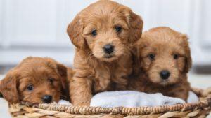Trei pui de câine cu blană cafenie într-un coșuleț