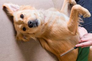 Acest câine este periat de stăpân cu ajutorul unui pietăn special împotriva puricilor