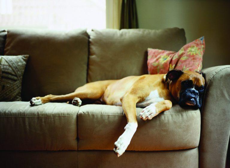 Boxer adult lenevește fără griji pe canapeaua stăpânului