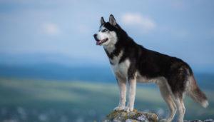 Câinele Husky privește lumea de pe vârful unui munte