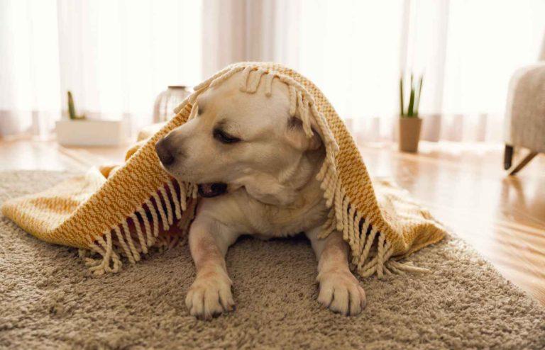 Golden Retriever învelit cu o pătură pentru câini