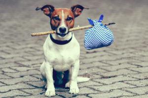 Jack Russell Terrier este pregătit de mutare
