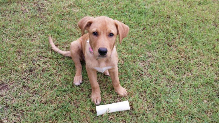 Pui de metis Beagle-Labrador privind drăgălaș către aparatul de fotografiat