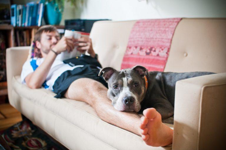 Pitbull lenevește în canapea pe picioarele stăpânului