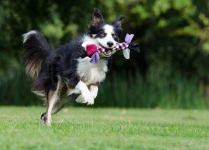 Border Collie aleargă cu jucăria preferată în gură