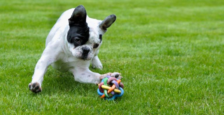 Bulldog Francez se joacă cu o minge de cauciuc