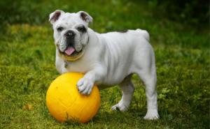 Bulldog se joacă cu o minge pentru copii