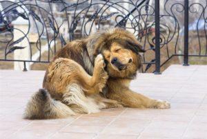 Câinele de talie mare este deranjat de prezența puricilor și a căpușelor