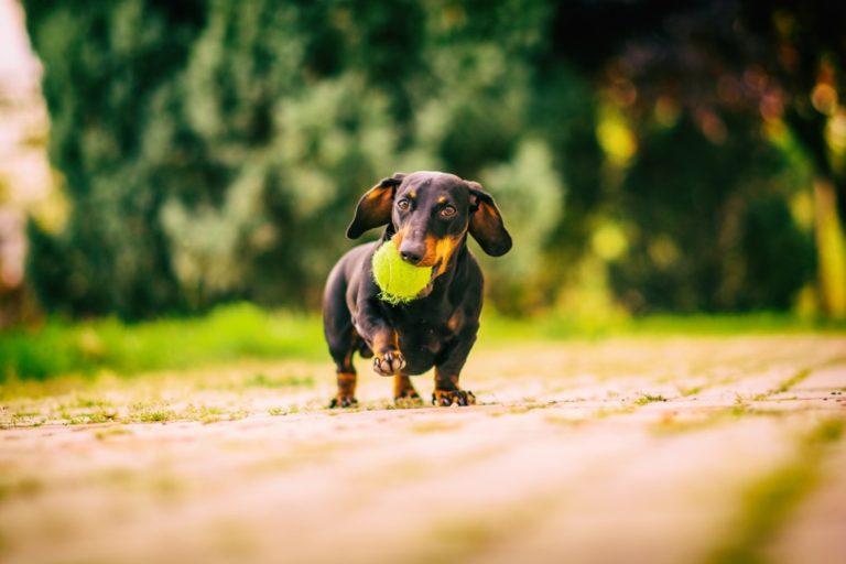 Câine din rasa Teckel se joacă bucuros cu o minge de tenis