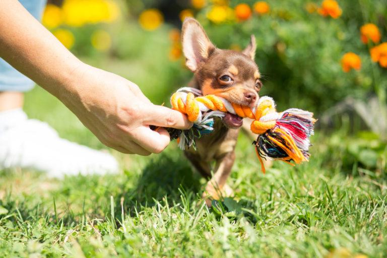 Chihuahua se joacă cu o jucărie de tip frânghie