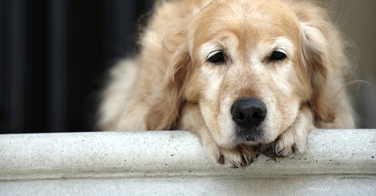 Acest Golden Retriever senior este afectat de probleme ale articulațiilor
