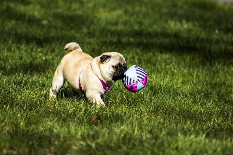 Mops (Pug) alături de jucăria sa preferată