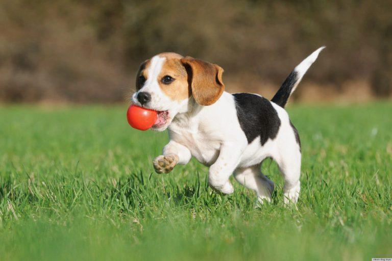 Pui de Beagle aduce stăpânului său o minge roșie în timpul unui joc de aport