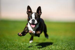 Pui de Boston Terrier aleargă vesel pe un câmp înverzit