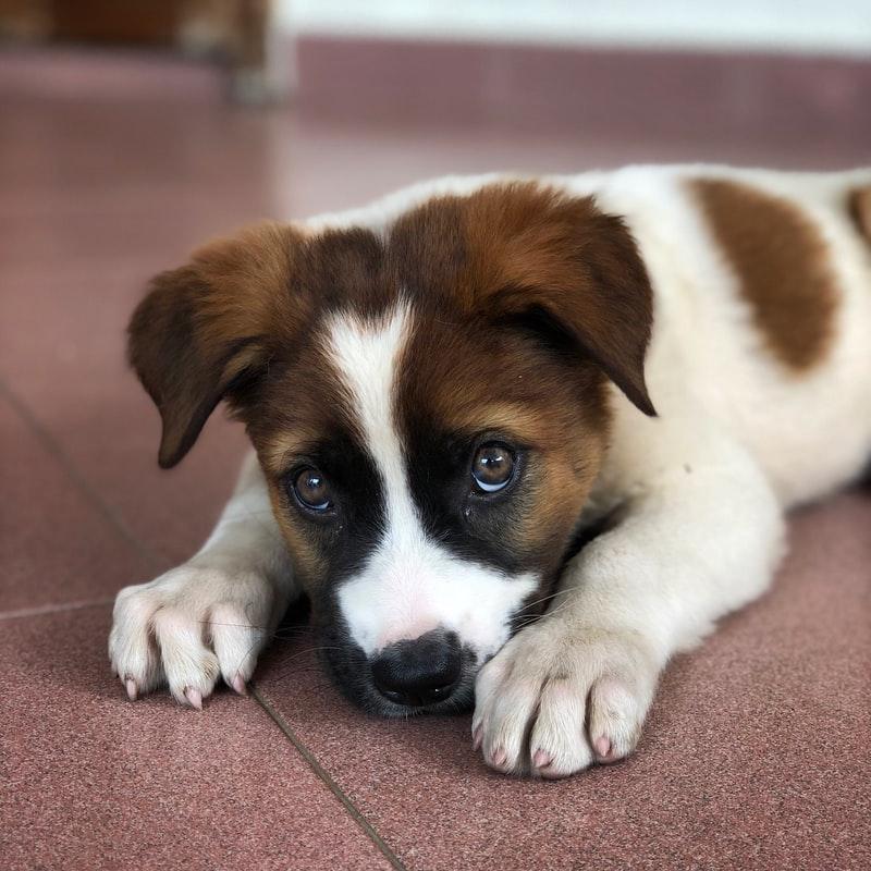 Pui de câine cu ochii înlăcrimați