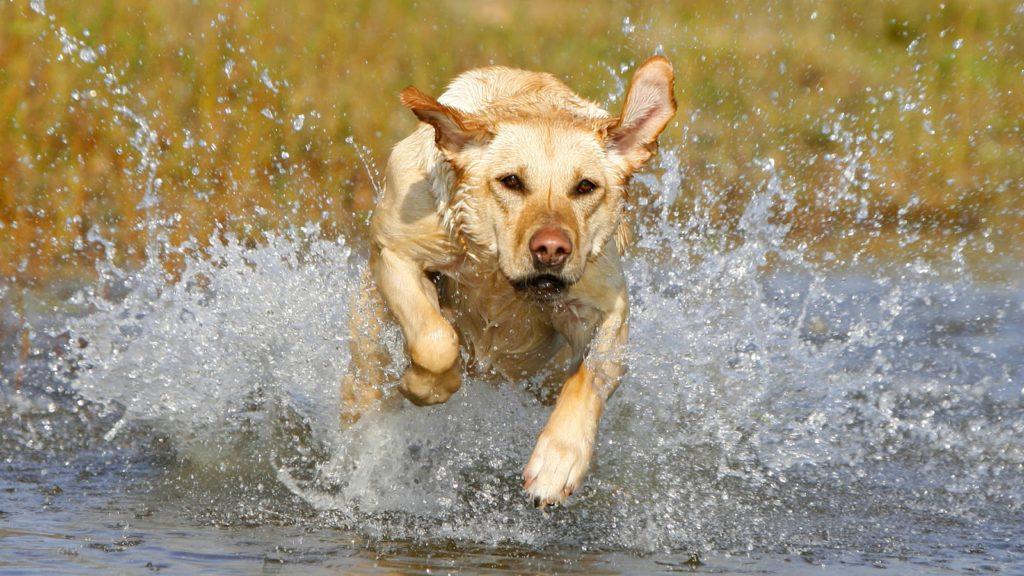 Câine traversează în alergare un pârâu