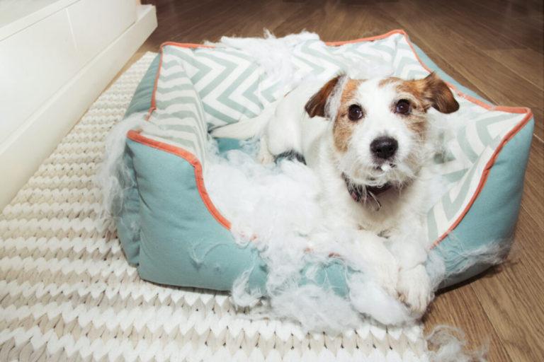 Câine rasa Fox Terrier și-a ros patul și l-a distrus