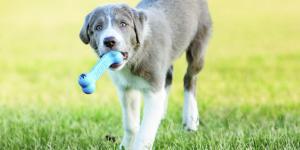 Câine de talie mare ține în gură o jucărie rezistentă la ros