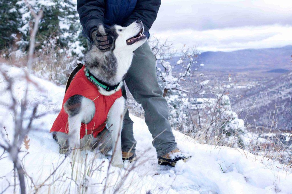 Câine Husky poartă o vestă pentru câini într-o zi rece de iarnă